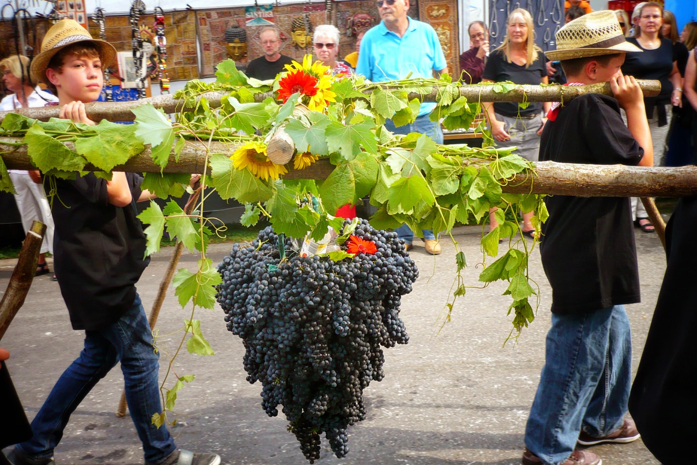 Виноград сорта гаме – символ Бургундии.