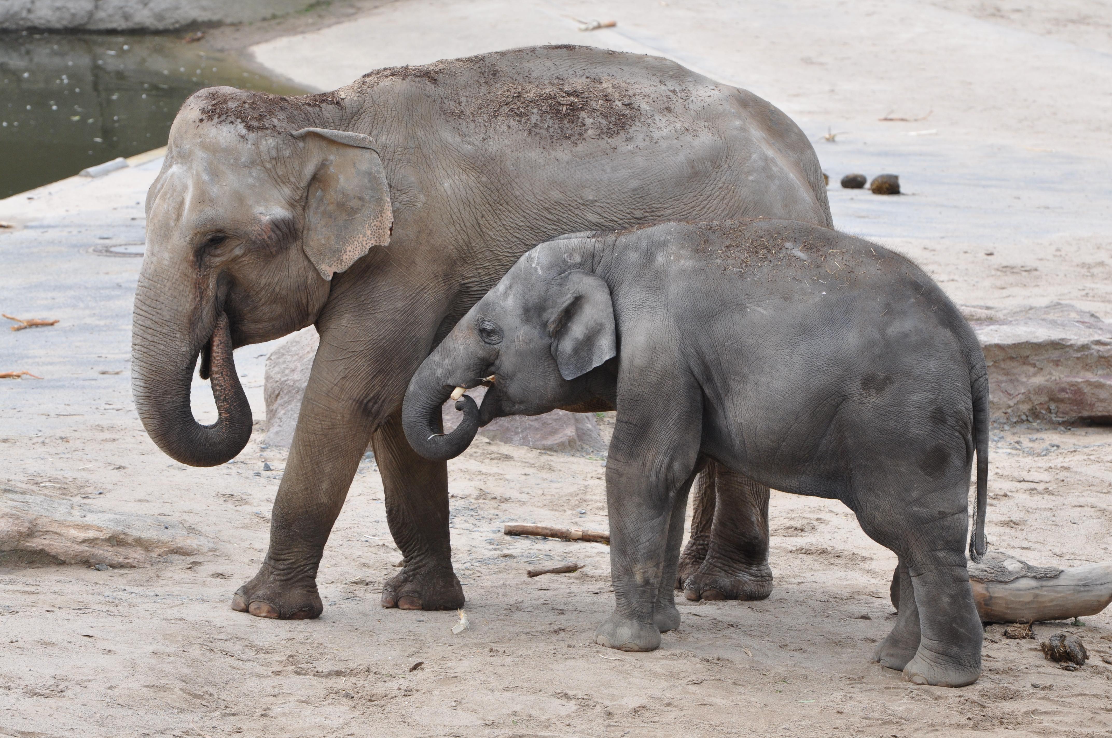 Слоны в Кёльнском зоопарке.