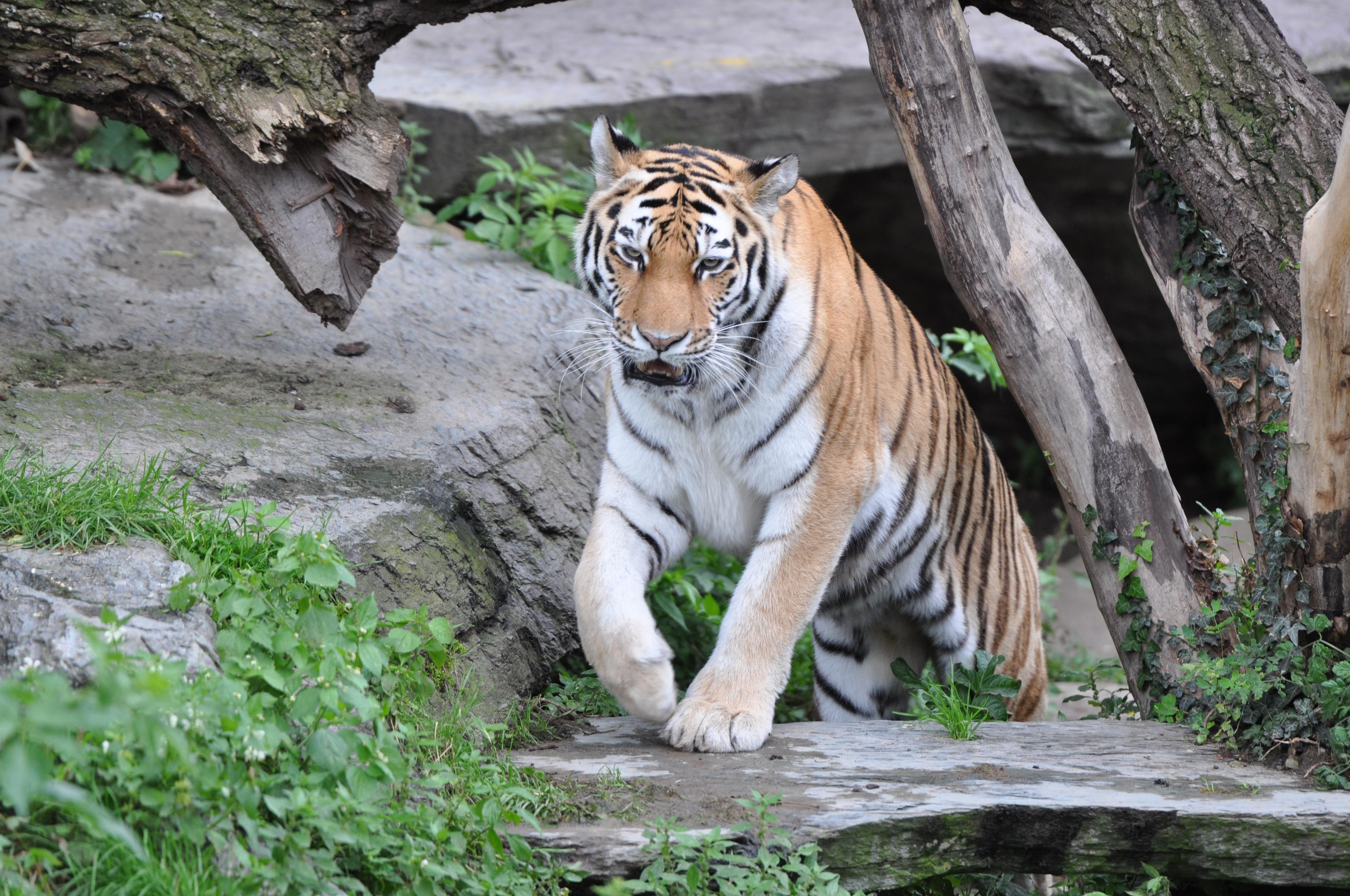 Тигр в Кёльнском зоопарке.