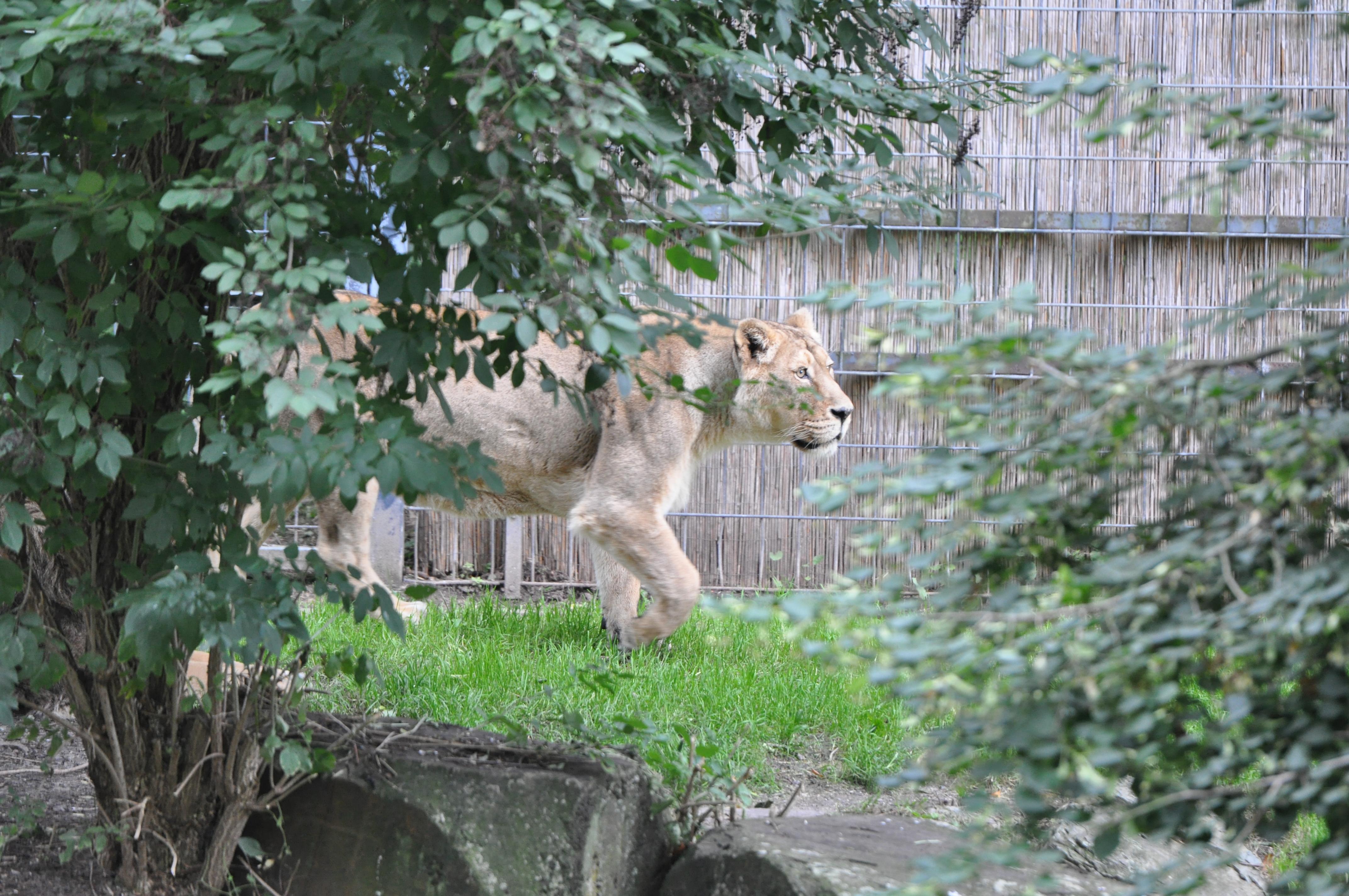 Лев в Кёльнском зоопарке.