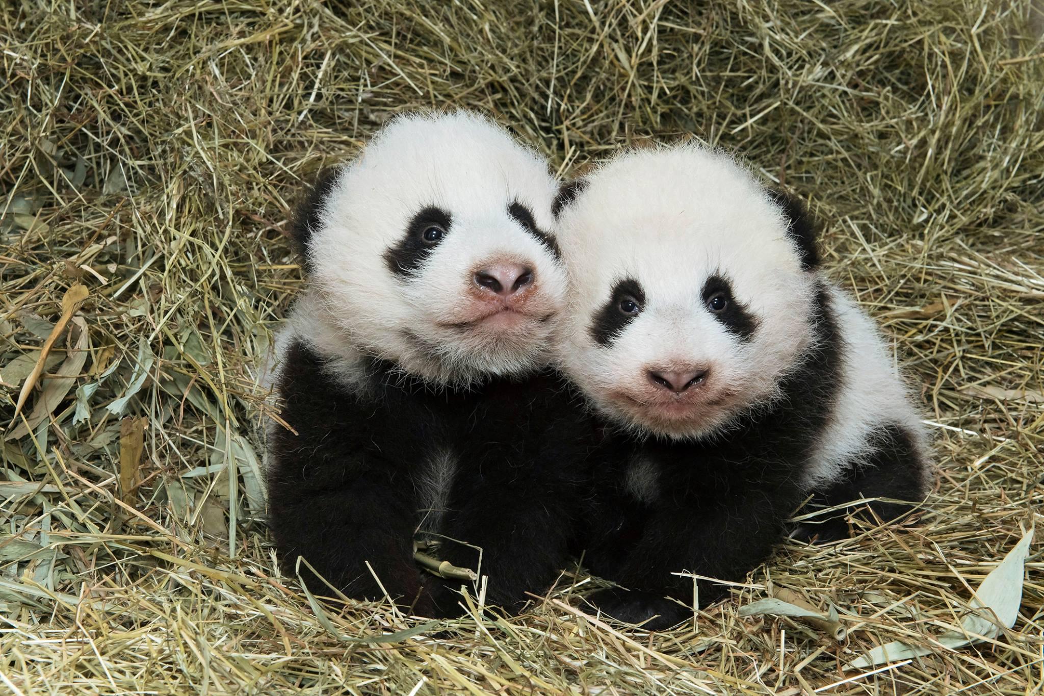 Фу Фэн и Фу Бань в возрасте 3 месяцев и 3 недель 28 ноября.
