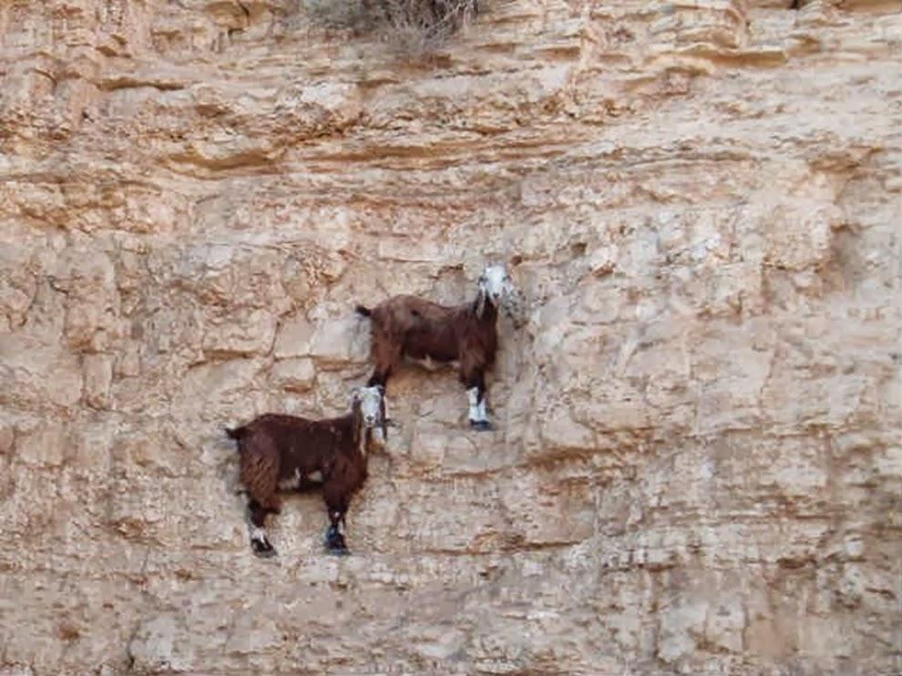 Горные козлы - лучшие в мире скалолазы. Источник http://coolday.today/
