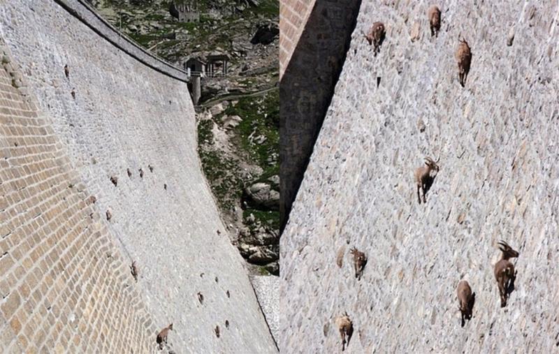 Горные козлы - виртуозные скалолазы. Источник http://animalsfoto.com/
