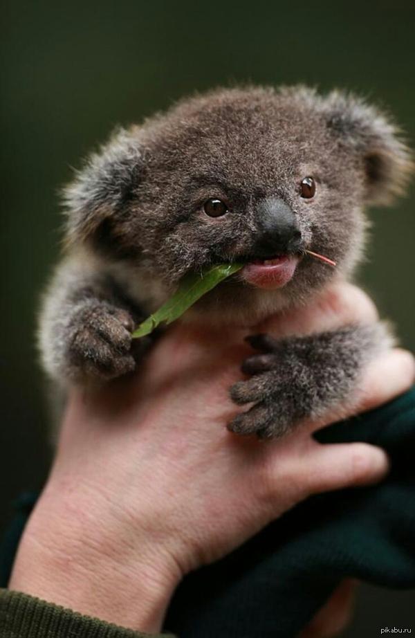 Teacup koala