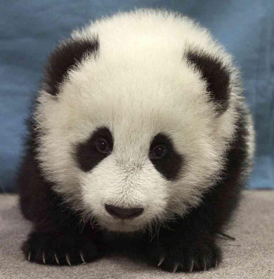 Панда. Источник http://images6.fanpop.com/