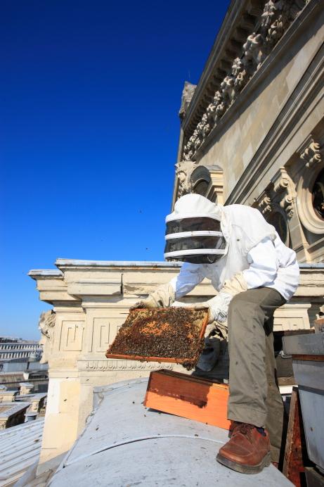 Пчелы на крыше Гранд Опера в Париже. Источник http://3.bp.blogspot.com/